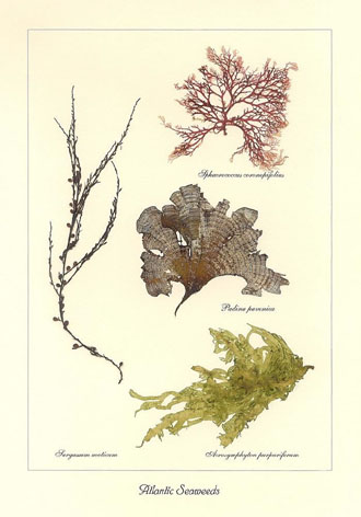 Atlantic Seaweeds